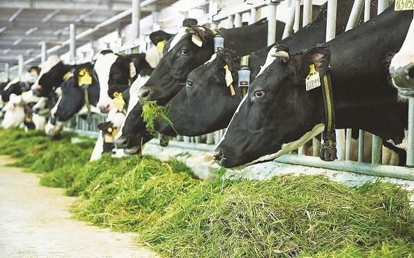 """Tại những trang trại chuẩn resort của Vinamilk trên cả nước, các cô bò sữa cũng """"ăn Tết"""""""