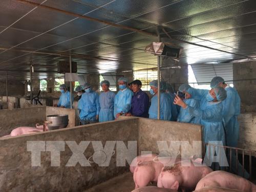 Hà Nội triển khai nhiều biện pháp đồng bộ và quyết liệt nhằm chống bệnh dịch cho đàn lợn.