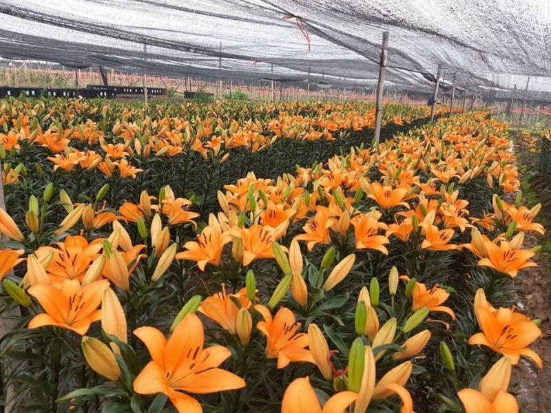Mỗi sào hoa ly người trồng có thể lỗ từ 30-50 triệu đồng