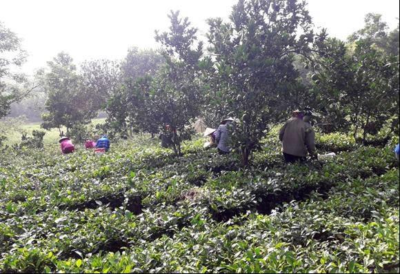 Từ nguồn vốn vay ủy thác của Hội, nhiều hội viên xã Ba Trại, huyện Ba Vì có thêm điều kiện phát triển nghề truyền thống trồng chè sạch