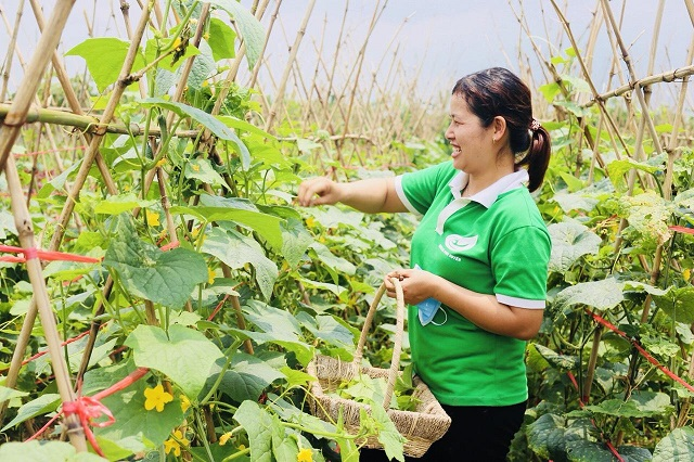 Mô hình trồng rau an toàn, hữu cơ tại Phú Xuyên cho thu nhập cao.