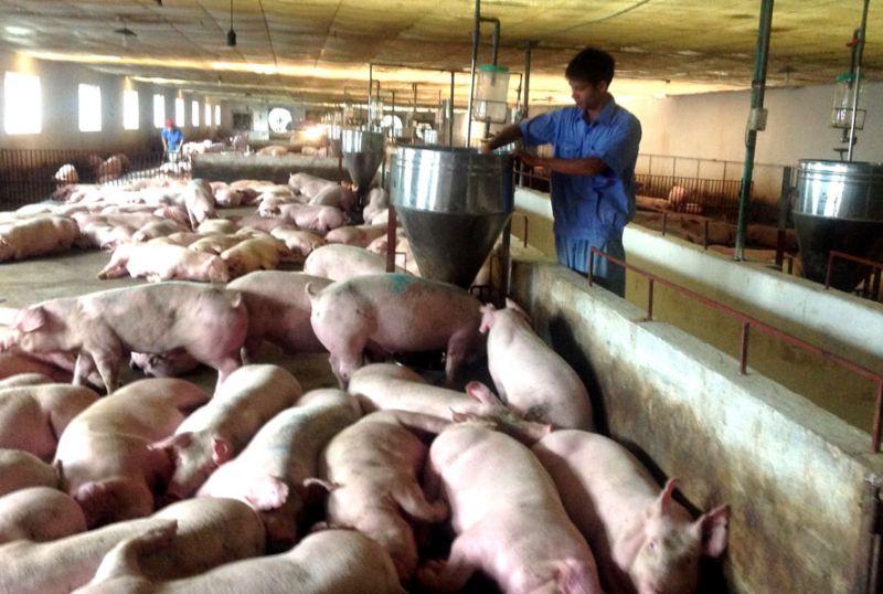 Mặc dù dịch lợn tả Châu Phi, nhưng Thanh Trì vẫn đạt giá trị lợn hơi xuất chuồng cao.