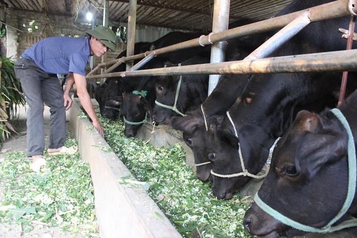 Chăn nuôi bò lai giống Wagyu Nhật Bản tại xã Minh Châu (Ba Vì)