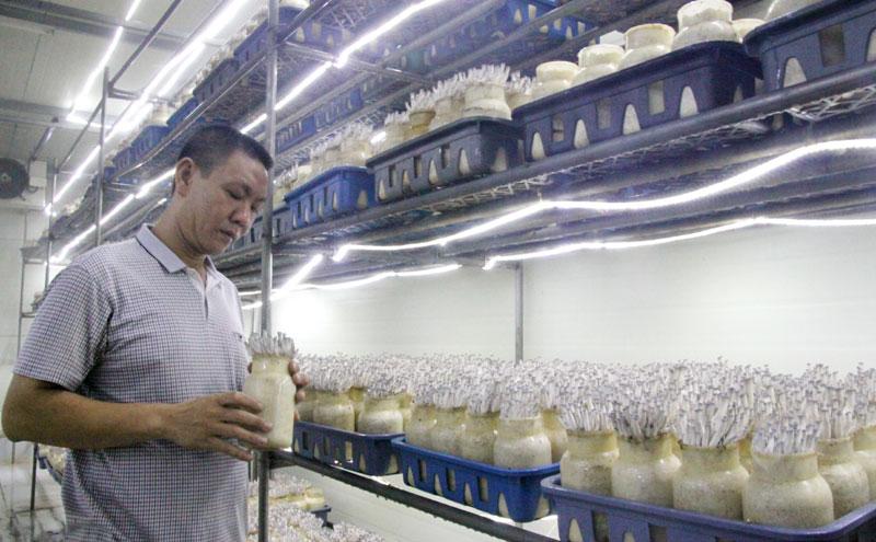 Anh Triệu Quang Trung kiểm tra sự phát triển của nấm.