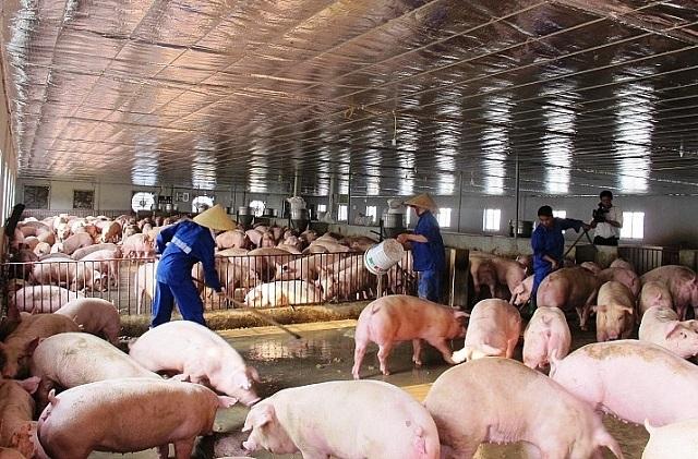 Dịch bệnh tai xanh và lở mồm long móng ở đàn gia súc đã không tái diễn.