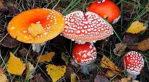 Hiện nay, là thời điểm bước vào mùa mưa và cũng là lúc các loại nấm phát triển nhiều. Các bác sĩ khuyến cao, những nấm có màu sắc sặc sỡ, nhìn bắt mắt,