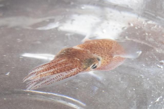 Một con mực tại phòng thí nghiệm ở Honolulu.