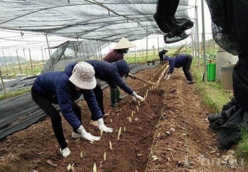 Hội viên phụ nữ Quốc Oai thực hiện trồng trọt, sản xuất chuyên canh theo tiêu chuẩn Vietgap.