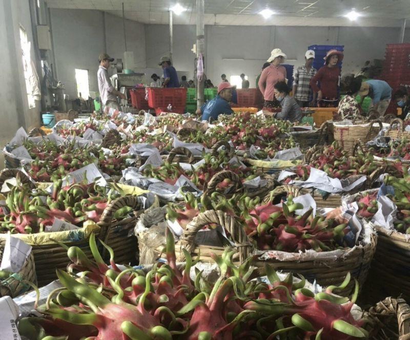 Thanh long đang được tập trung thu mua tại cửa khẩu Hữu Nghị (Lạng Sơn)