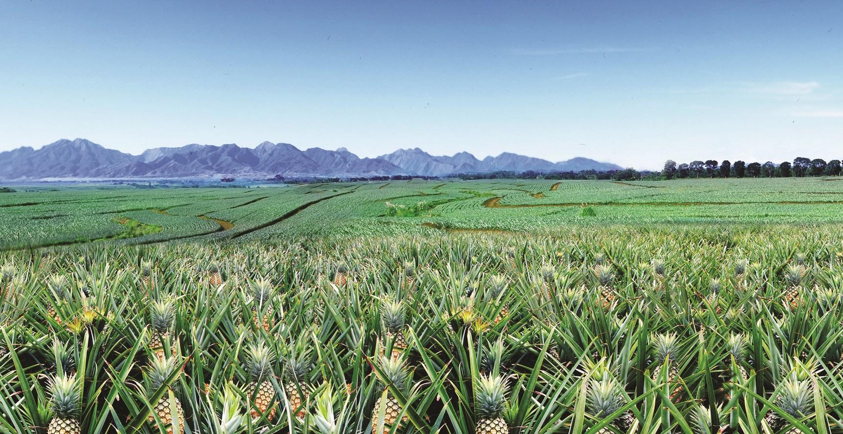 Trang trại dứa rộng 26.000 ha ở Bukidnon của Del Monte Philippines