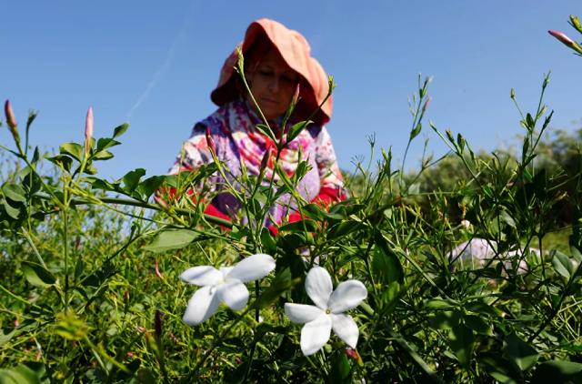 Thu hoạch hoa nhài để làm nước hoa