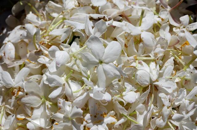 Hoa nhài đang được xử lý để tạo ra nước hoa
