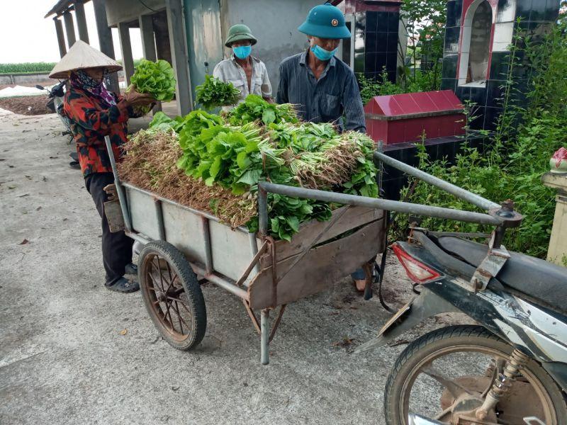 Người dân xã Minh Tân thu hoạch rau để ủng hộ người dân ở khu vực bị cách ly y tế