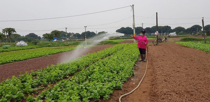 Người nông dân xã Tiền Yên đẩy mạnh sản xuất rau