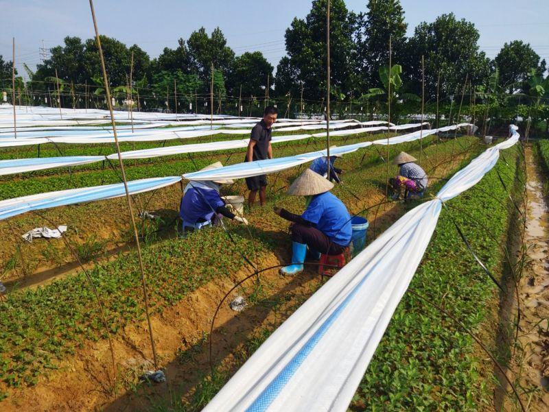 Bà con nông dân xã Đại Thịnh gieo trồng cây rau