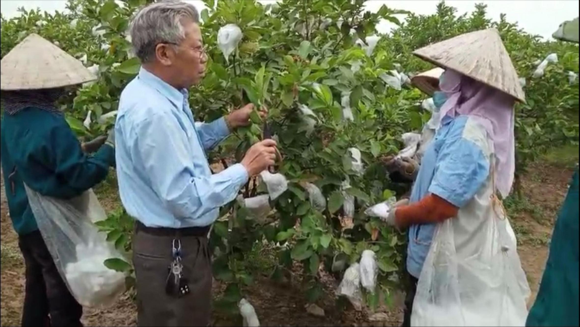 Ông Đào Việt Dũng hướng dẫn bà con chăm sóc cây ổi lê Đài Loan