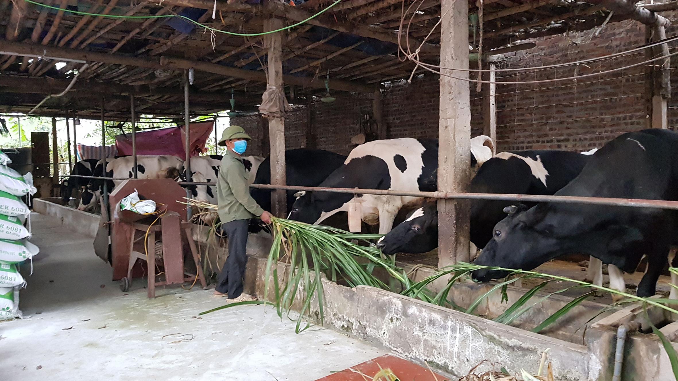 Anh Phương Văn Trung (chồng chị Nguyễn Thị Kiều) ở khu 2 thôn Chu Chàng, xã Minh Châu cho bò ăn