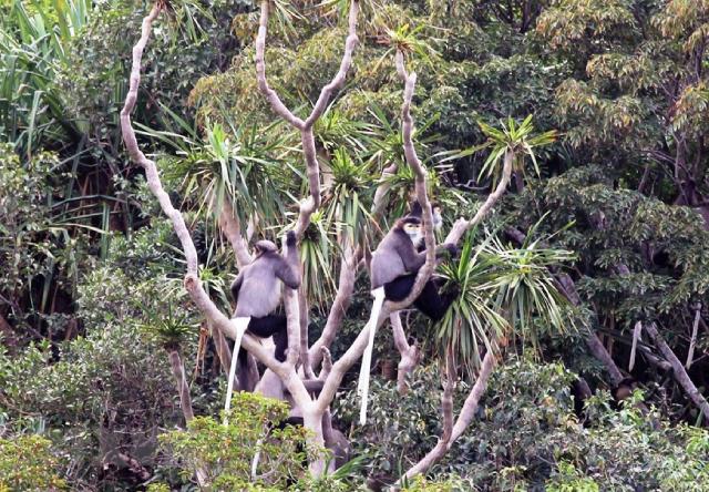 Vọoc chà vá chân đen, loại động vật quý hiếm sinh sống tại Khu dự trữ sinh quyển Núi Chúa.