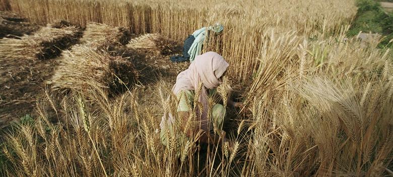 Giá ngũ cốc tăng 2% trong tháng 9, đặc biệt là lúa mì.