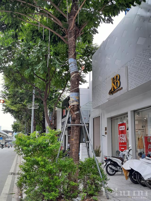 Ghi nhận tại đường Trần Phú (Hà Đông) dù cây xanh đã lớn nhưng khung sắt chưa bị tháo bỏ