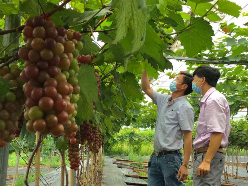 Nhiều hợp tác xã tại Hà Nội đã đưa cây nho hạ đen vào gieo trồng, phục vụ nhu cầu tiêu dùng của người dân
