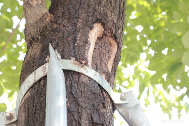 Một số cây xanh đã có dấu hiệu bong tróc do sức ép từ những bộ