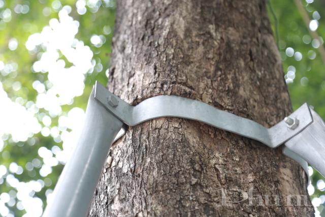 Mặc dù cây đã phát triển nhưng khung sắt không được nới lỏng gây ra vết hằn trên thân cây.